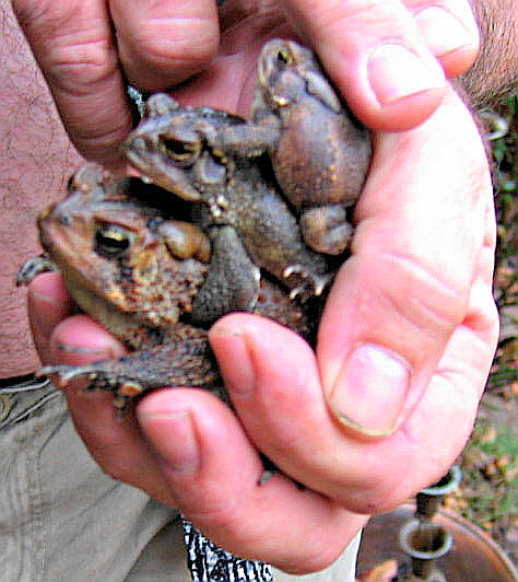 Stack of toads