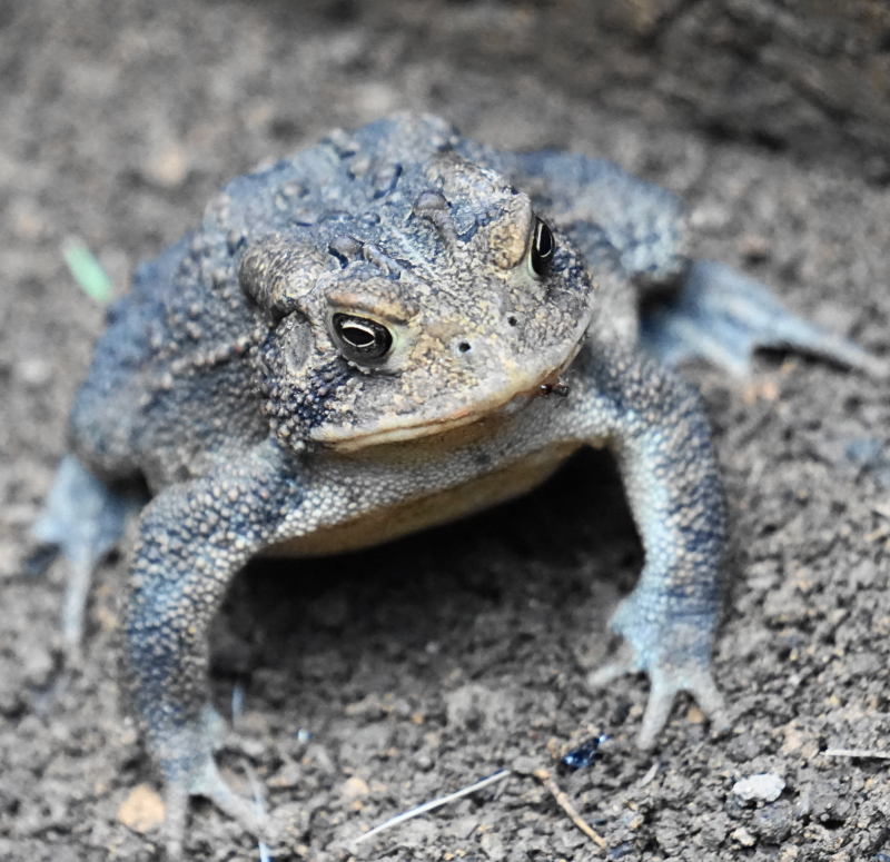 General Toad