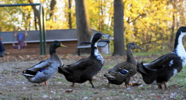 Four ducks walking left to right in the style of the Beatles Abby Roads album cover